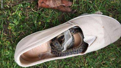 Photo of ثعبان يسافر آلاف الأميال على متن رحلة جوية داخل حذاء امرأة