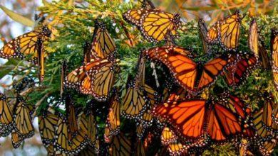 Photo of ملايين الفراشات تظهر في البصرة فجأة وتطرزها جمالا