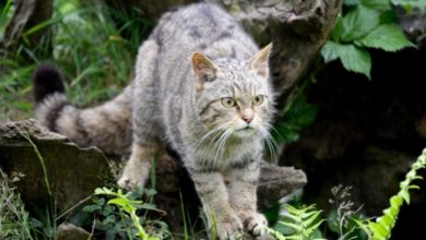 "Photo of ""القط الشرس"" يعود بعد 150 عاماً من الإنقراض"