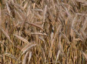Photo of التجارة: العراق يشتري قرابة أربعة ملايين طن من القمح المحلي
