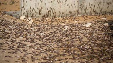 Photo of الزراعة تطمئن المواطنين بشأن الحد من زحف الجراد الصحراوي