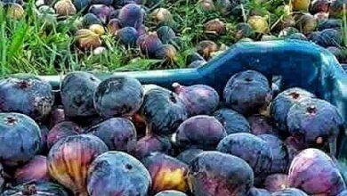 Photo of ناحية الكفل.. وزراعة التين