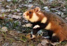 Photo of عالم الحيوان.. الهامستر الأوروبى معرض لخطر الانقراض بشدة وتحذيرات حول ذلك