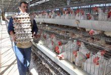 Photo of مشاريع بيض المائدة في كربلاء المقدسة تنتج اكثر من ( 94) مليون بيضة خلال النصف الأول من عام 2020