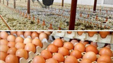 Photo of وزارة الزراعة: ارتفاع معدلات الإنتاج ومشاريع الدواجن تسد حاجة السوق المحلية في الديوانية