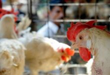 Photo of وزارة الزراعة تؤكد أحتواء بؤرة الأصابة بمرض أنفلونزا الطيور