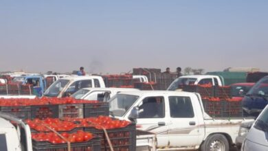 Photo of انتحار مزارع طماطم بصري بسبب الاستيراد الغير منظم