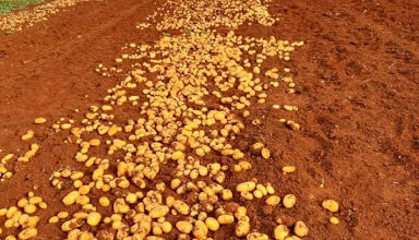 Photo of مزارعو البطاطا يشيدون بجهود وزارة الزراعة والاجهزة الامنية في الحد من التهريب